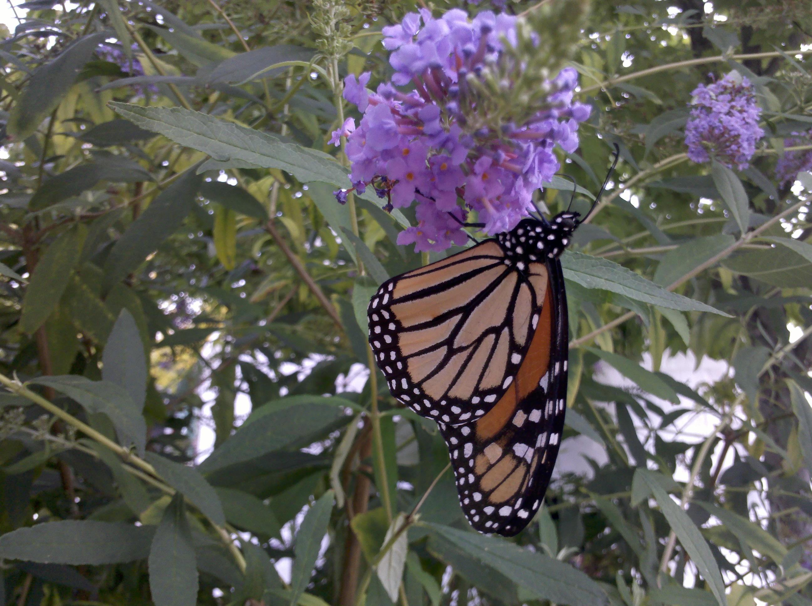 Monarch butterfly bush Madison Indiana