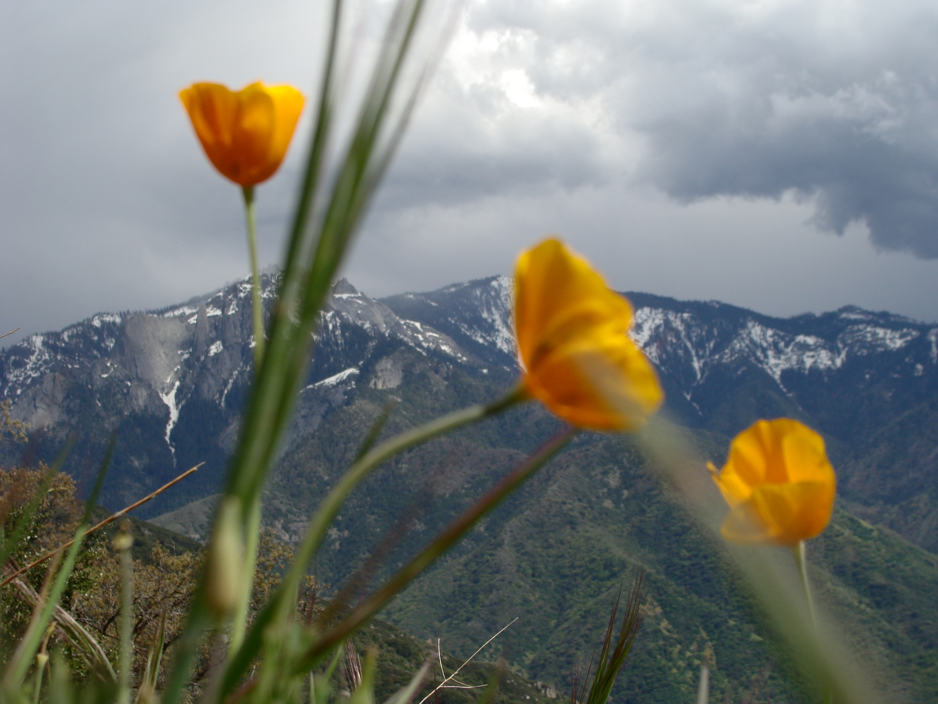 Sequoia National Park View Flowers Marla Sink Druzgal